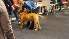 2016-04-13 Bor op de Dogshow in Utrecht (3 Zeer Goed) (2)