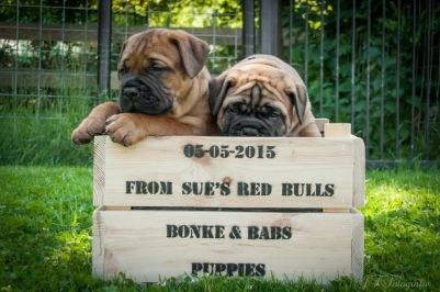 Pups 6 weken